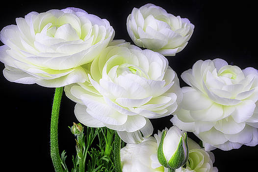 Lovely White Ranunculus by Garry Gay