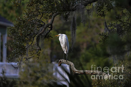 Dale Powell - Lowcountry Egret