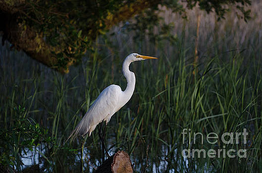 Dale Powell - Lowcountry Marsh Egret