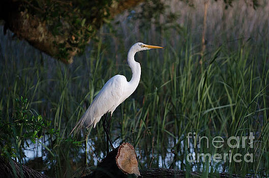 Dale Powell - Lowcountry Marsh Great White Heron