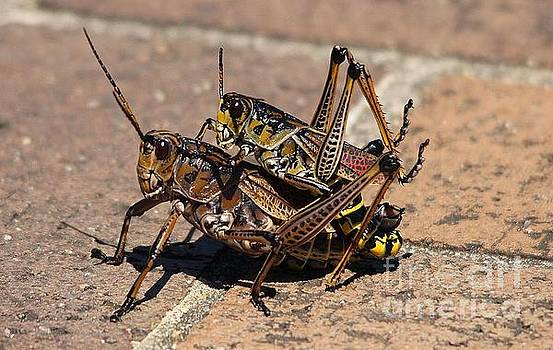Paulette Thomas - Lubber Grasshoppers Mating