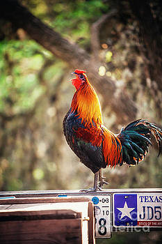 Luckenbach Rooster and a Morning Call  by Katya Horner