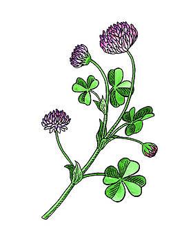 Lucky Clover Flower Botanical Watercolor  by Irina Sztukowski