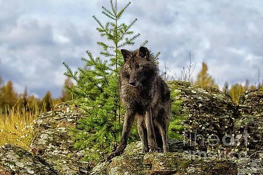 Luna - Black Wolf by Danny Nestor