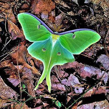 Luna Moth by Gary Edward Jennings