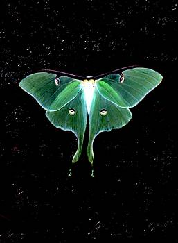 Luna Moth by John Foote