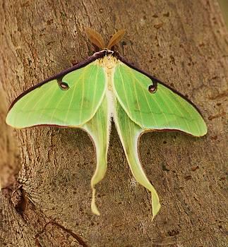 Paulette Thomas - Luna Moth
