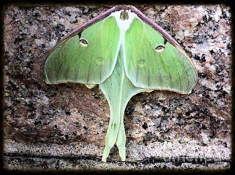 Lunar Moth of New Hampshire by Becca J