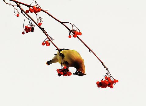 Lunchtime - Cedar Waxwing by Andrea Kollo