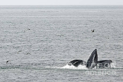 Lunge Feeding Humpbacks by Natural Focal Point Photography