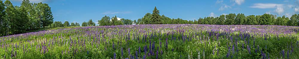 Lupine Field by Darryl Hendricks