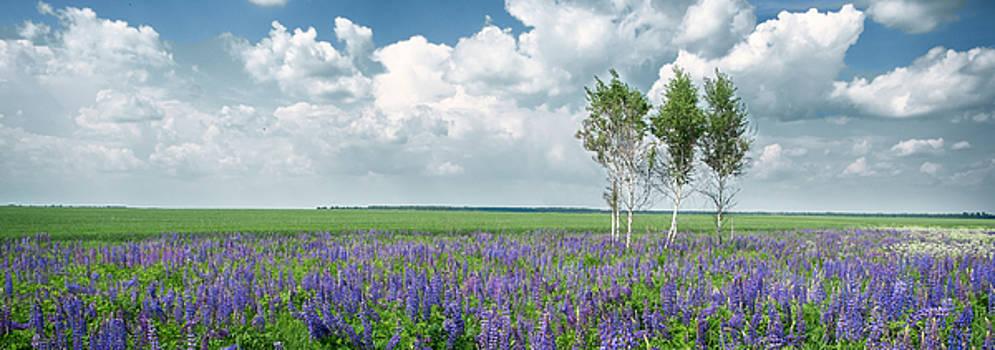 Lupine Blooming. Rohizky, 2015. by Andriy Maykovskyi
