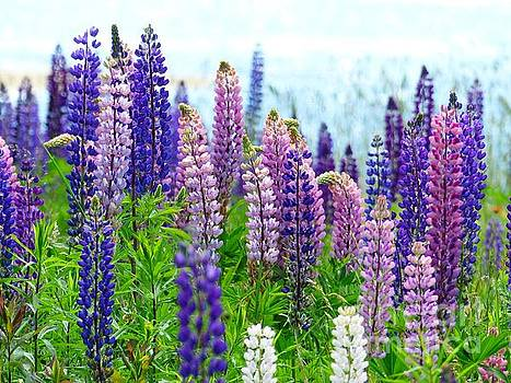 Christine Stack - Lupine By the Sea