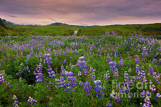 Lupine Filled Meadow  by George Oze