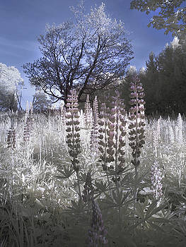 Lupine in Infrared - Sugar Hill New Hampshire by Joann Vitali