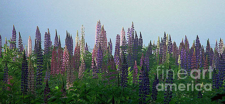Lupine in morning light by Christopher Mace