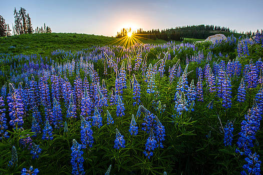 Lupine Meadow by Dustin  LeFevre