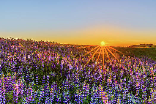 Lupine Star by Greg Mitchell Photography