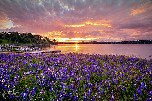 Lupine Sunset  by Janet Kopper