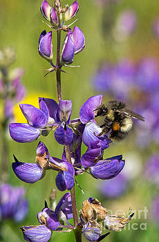Tim Moore - Lupine with a Bumble Bee