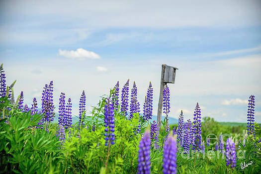 Lupines and Bird House by Alana Ranney