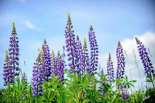 Lupines and Blue Sky by Alana Ranney