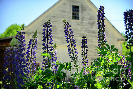 Lupines and White Barn by Alana Ranney
