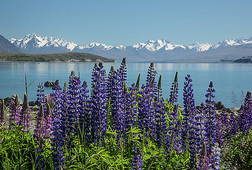 Lupines at Lake Tekapo by Cheryl Strahl