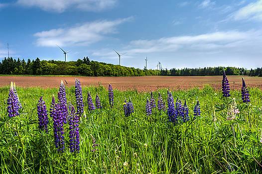 Matt Dobson - Lupins in a Field