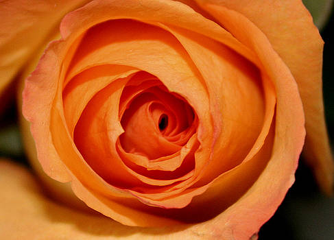 Luscious Rose by Mary Gaines