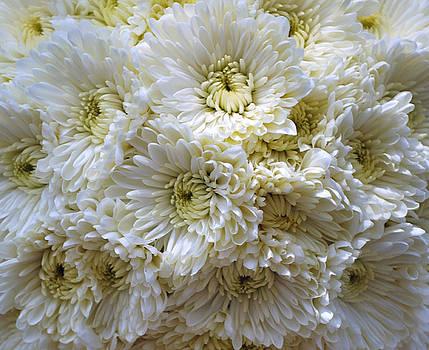 Debra  Miller - Luscious White Chrysanthemum