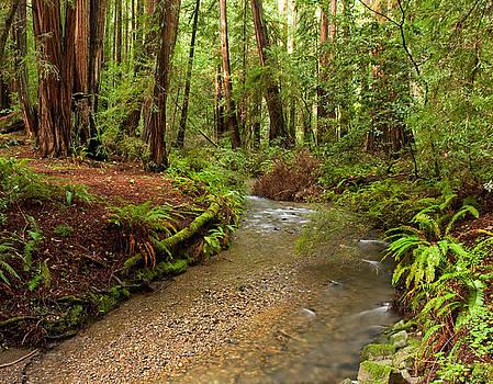 Lush Redwood Forest by Matt Tilghman