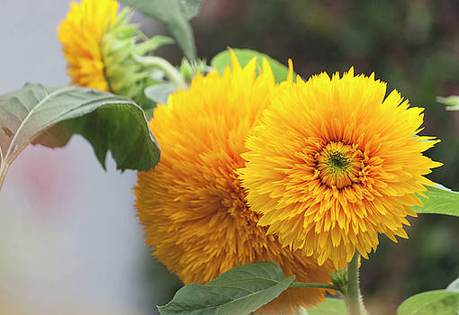 Lush Sunflowers by Suzanne Gaff