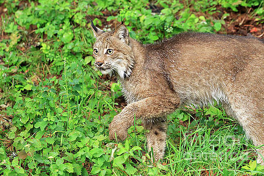 Lynx prowling through the grass by Louise Heusinkveld