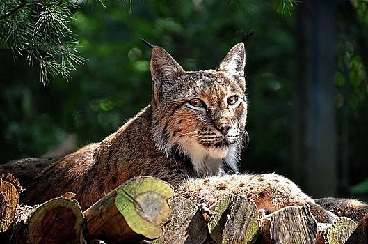 Lynx by Ronda Ryan