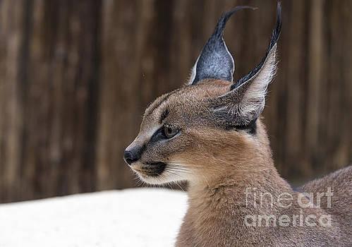 Compuinfoto  - lynx wild cat in africa