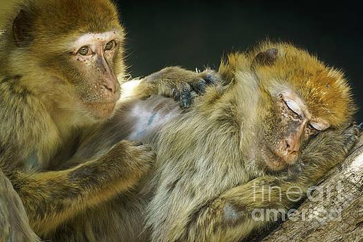 Macaques Jerez de la Frontera Spain by Pablo Avanzini