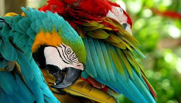 Macaws at the Jungle Gardens by Sheryl Unwin