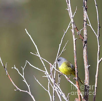 MacGillivray's Warbler by Natural Focal Point Photography