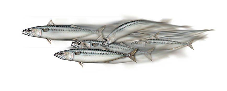 Mackerel school of fish - Scomber - Nautical Art - Seafood Art - Marine Art -Game Fish by Urft Valley Art