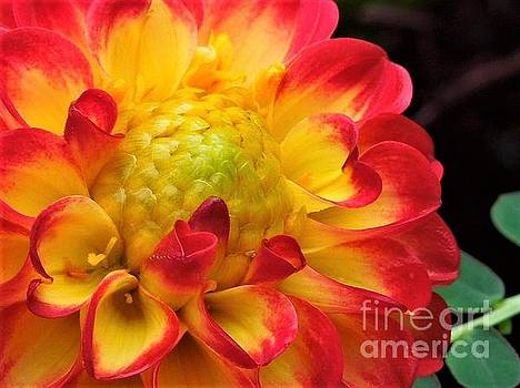 Macro Dahlia by Chad and Stacey Hall