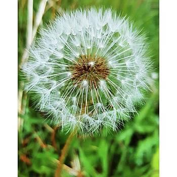 #macro #dandelion #dandelionclock by Natalie Anne