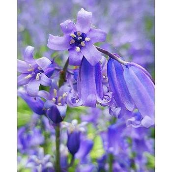 #macro #flower #flowers #bluebell by Natalie Anne