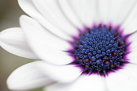 Macro Flower with White Petals and Purple/Indigo Center by Sarah Grady