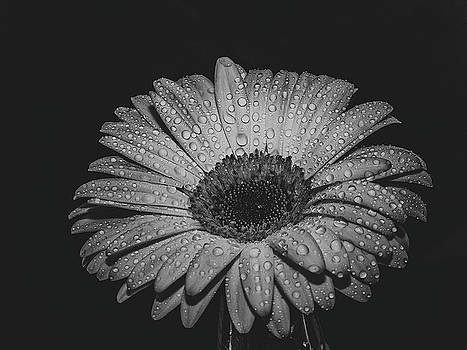 Macro image of gerbera flower. Selective focus. Black and white  by Julian Popov