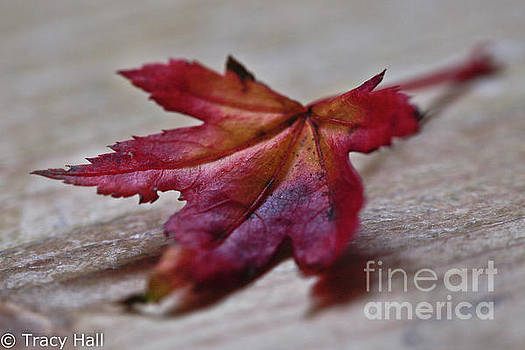 Macro Maple by Tracy Hall