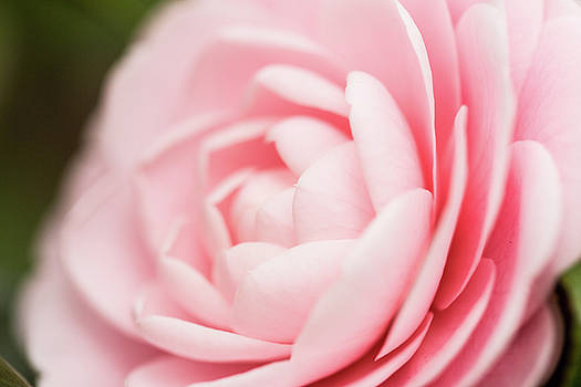 Macro Pink Rose Close Up by Carol Mellema