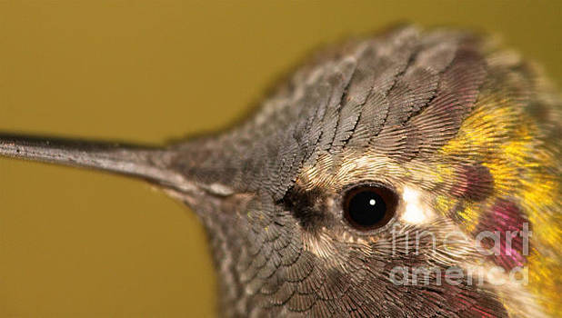 Macro Portrait Of Costa's Hummingbird by Max Allen