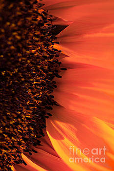 Macro shot of a sunflower by Deborah Benbrook