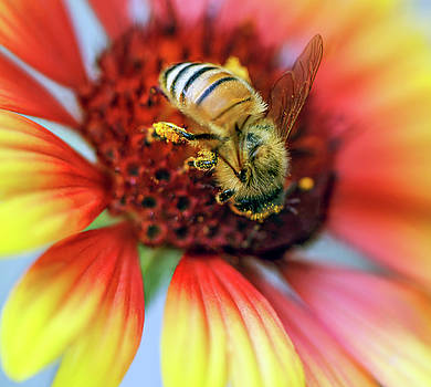 Macro Shot of Honey Bee on Blurred Gallardia Flower by Eneida Gastal-Keith